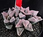XP1250-堀川ピグマエア굴천Haworthia pygmaea_Haworthia pygmaea