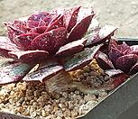 桩罗西马벨바라18_Echeveria longissima