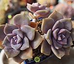 紫色喜悅_Graptopetalum Purple Delight
