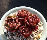 丸葉罗西马自然群生(계절성变异錦)_Echeveria longissima