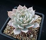 蓝云_Echeveria blue cloud