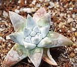 格诺玛_Dudleya White gnoma(White greenii / White sprite)