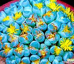 *生石花올리바시아믹스种子(30립)/生石花种子_Lithops