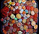 *生石花믹스种子(100립)-280여종이섞여있어요/生石花种子_Lithops