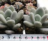 星美人[随机]_Pachyphytum oviferum