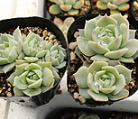 范女王[随机]_Echeveria fun queen