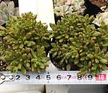 日本小松[随机]_Aeonium  sedifolius