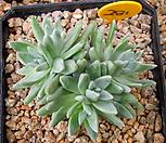 格诺玛5头自然群生_Dudleya White gnoma(White greenii / White sprite)