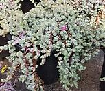 原始种碧魚蓮(一体/大)_Corpuscularia lehmanni