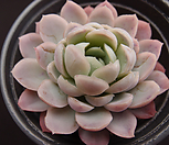 冰梅_Echeveria Rasberry Ice