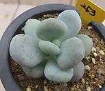 星美人-253_Pachyphytum oviferum