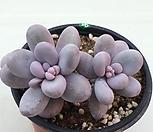 星美人99_Pachyphytum oviferum