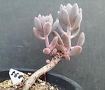 568东美人_Pachyveria pachyphytoides Walth