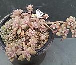 579姬秋丽_Graptopetalum Mirinae