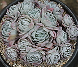冰梅群生_Echeveria Rasberry Ice