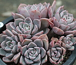 红粉佳人-0_Echeveria Pretty in  Pink