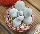 동글동글星美人_Pachyphytum oviferum