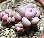 醉美人自然群生G4995_Graptopetalum amethystinum