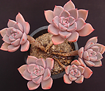 红粉佳人(合并)_Echeveria Pretty in  Pink