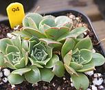 原始种罗西马94_Echeveria longissima