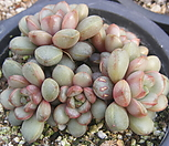 红葡萄(红葡萄)26_Graptoveria Ametum