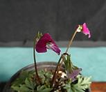 홍火祭비꽃(紅之鶴제비)_Crassula Americana cv.Flame