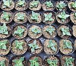 四海波(170303-随机)_Faucaria tigrina