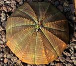 布纹球3417_Baseball Plant (Euphorbia obesa)