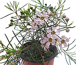 白蜡플라워(粉色색꽃)_Echeveria agavoides Wax
