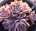 紫罗兰皇后_Echeveria Violet Queen