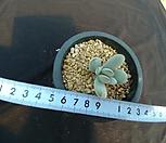 乒乓福娘锦(뿌리있슴)3.17_Cotyledon orbiculata cv variegated