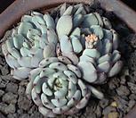 흑原始绿爪群生3425_Echeveria mexensis 'Zaragosa'