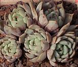原始绿爪群生3435_Echeveria mexensis 'Zaragosa'