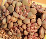 老庄红葡萄(红葡萄)1131_Graptoveria Ametum