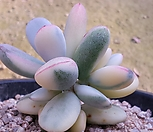 乒乓福娘锦3头自然群生_Cotyledon orbiculata cv variegated