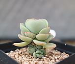 둥근叶子碧桃自然群生-小品-사이즈는작으나自救는많습니다-_Echeveria Peach Pride