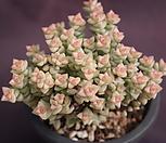 老庄彩色蜡笔_Crassula Rupestris variegata