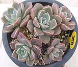 老庄红粉佳人(自然群生桩)-358_Echeveria Pretty in  Pink