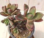 紫心-125_Echeveria cv Rezry