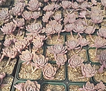 红粉佳人-随机(3월)_Echeveria Pretty in  Pink