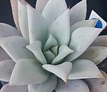 墨西哥巨人H168(3월)_Echeveria Mexican Giant