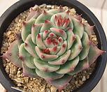 老庄卡罗拉-43_Echeveria colorata