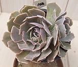 老庄긴叶子粉红天使 -168_Echeveria cv Pinky