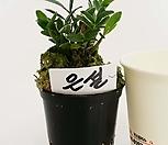 红霜_Sedum spathulifolium