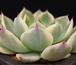卡罗拉錦_Echeveria colorata