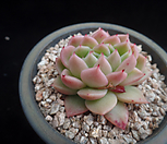 姬胧月671_Graptoveria Gilva