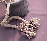 老庄紫丽殿_Pachyveria oviferum cv . shireiden