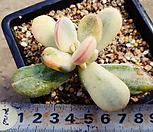 乒乓福娘锦(乒乓福娘覆轮锦)1212_Cotyledon orbiculata cv variegated