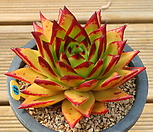唇膏_Echeveria agavoides Lip Stick