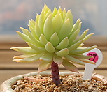 蓝色天使_Echeveria Graptoveria Fanfare